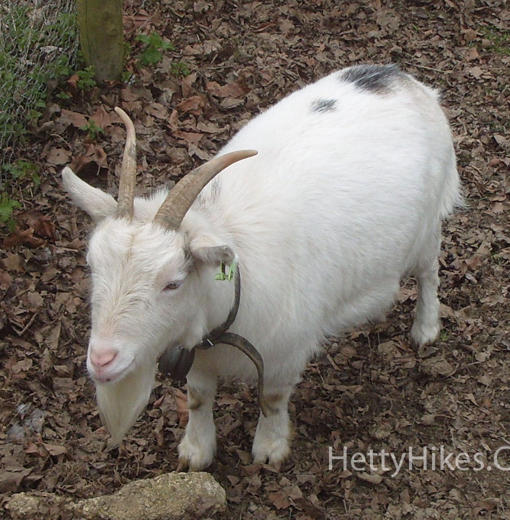 14 goat 1 copy