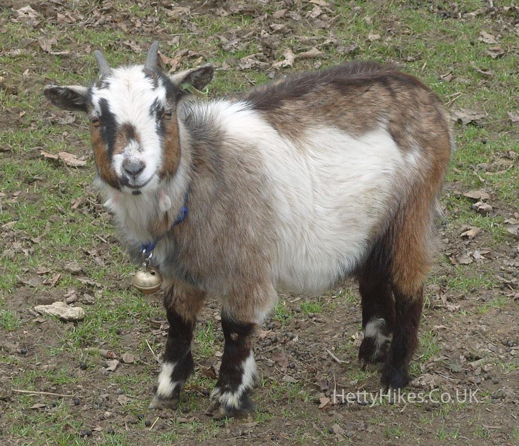 14 goat 2 copy
