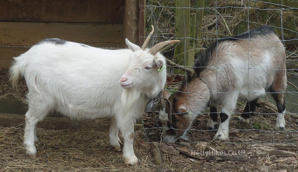 14 goat 5 copy