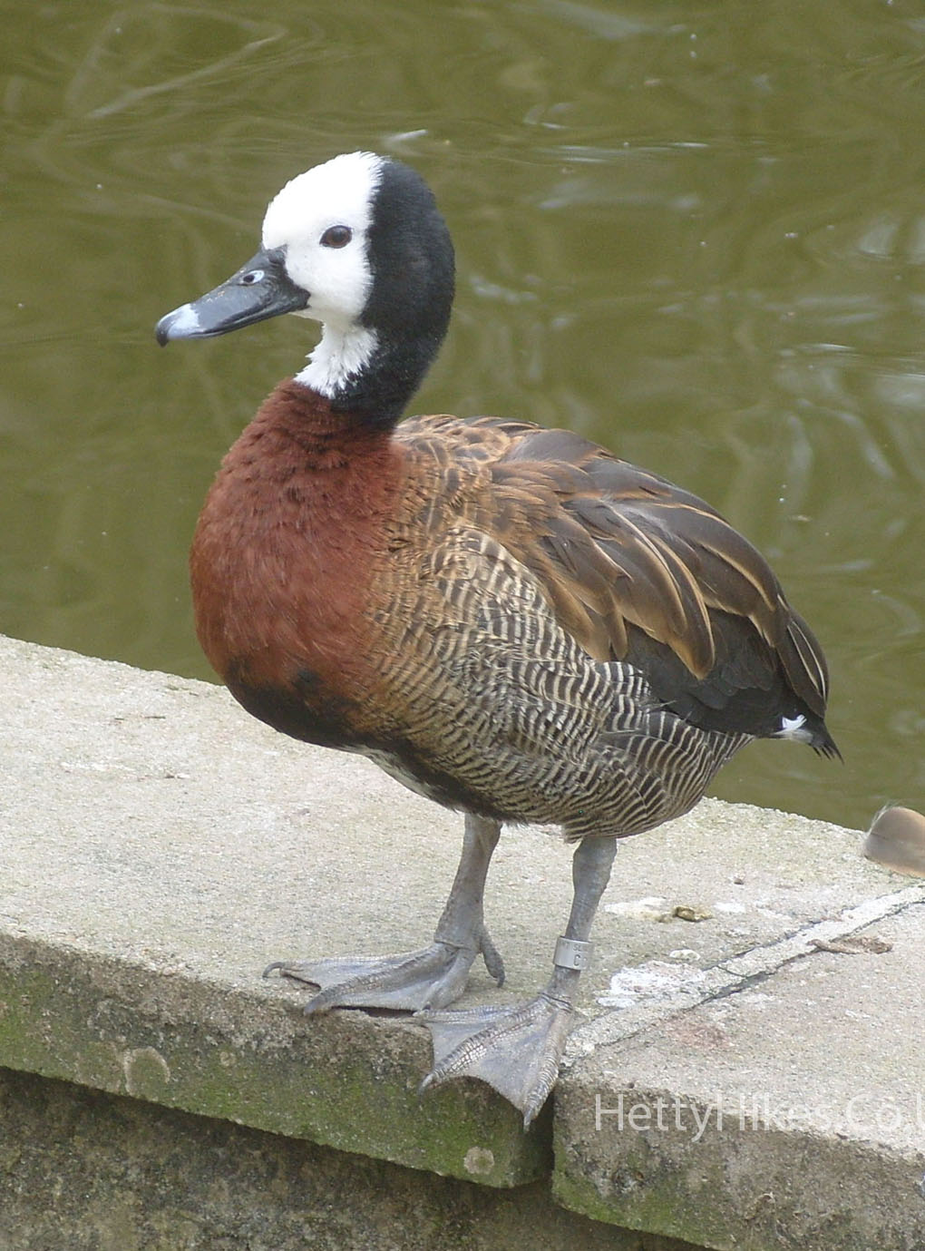 4 duck 3 copy