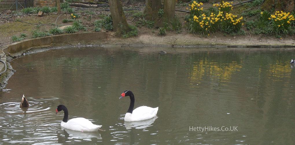 8 swans 3 copy